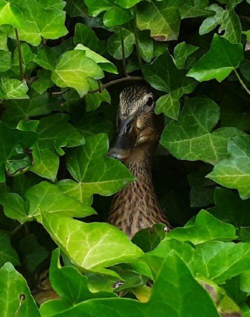 Geschützt und fast unsichtbar im Efeu Fotos: J.Teroerde